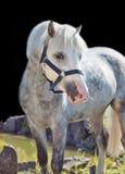 灰色威尔士小马画象。 免版税图库摄影