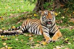 放下的老虎放松和 库存图片