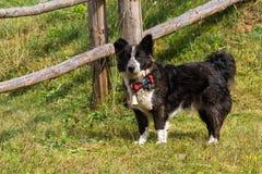 博德牧羊犬品种 库存图片