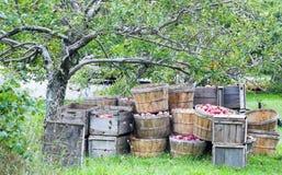 хлебоуборка яблока Стоковые Фотографии RF