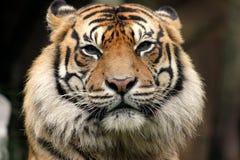 Пристальный взгляд тигра Стоковая Фотография