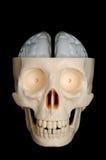 脑子显示了头骨 免版税库存照片