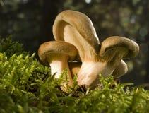 乳菇属 免版税图库摄影