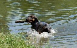 德国短发指向的狗 免版税库存照片