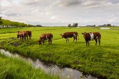 Коровы в поле, Голландии Стоковое Изображение RF