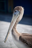 Американский пеликан Стоковые Изображения RF