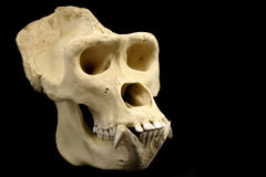 大猩猩头骨 库存图片