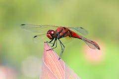 红色蜻蜓 免版税库存照片