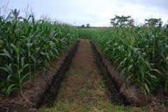 有垄沟的玉米种植园 免版税图库摄影