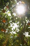 Ήλιος που λάμπει μέσω του πορτοκαλιού δέντρου Στοκ Φωτογραφίες