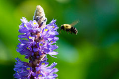 Пчела собирая цветень Стоковое Фото