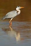 灰色苍鹭在水中 库存照片