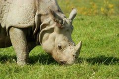 犀牛吃 图库摄影