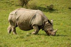 犀牛吃 免版税库存图片