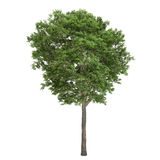 Изолированное дерево золы Стоковая Фотография