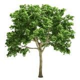 Изолированное дерево вяза Стоковая Фотография