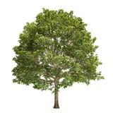 被隔绝的角树树 免版税库存照片