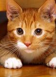 在地板上的动物在家-红色逗人喜爱的小的猫宠物全部赌注 免版税图库摄影