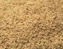 糙米 免版税库存图片