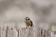 蓝冠山雀用食物 库存图片