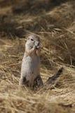 地松鼠在纳米比亚 免版税图库摄影