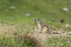 在戒备的土拨鼠 免版税库存照片