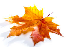 Красный сухой кленовый лист Стоковое фото RF