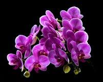兰花植物。五颜六色的桃红色兰花 库存图片
