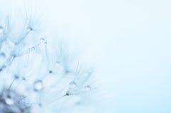 蓝色抽象花卉背景,蒲公英特写镜头开花 免版税库存图片