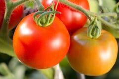 在蕃茄灌木的成熟蕃茄在庭院里 免版税图库摄影