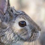 眼睛棉尾巴兔子特写镜头  免版税库存图片