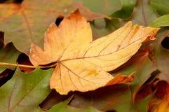 осенние цветастые листья Стоковые Изображения RF