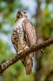 在树观看栖息的木桶匠鹰 免版税库存照片