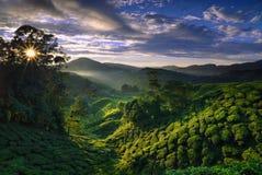 黎明有雾的种植园茶 库存图片