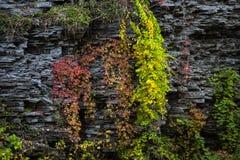 在岩石墙壁上的红色和黄色叶子 免版税图库摄影