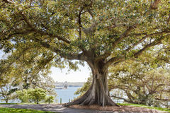 榕属树在植物园悉尼里 免版税图库摄影