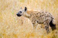 被察觉的鬣狗,克留格尔国家公园,南非 免版税图库摄影