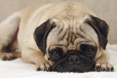哀伤的哈巴狗 免版税库存图片