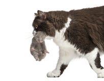 特写镜头英国长发运载一只一星期的小猫 免版税库存图片