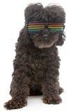 在减速火箭的彩虹太阳镜的长卷毛狗在白色背景 库存照片