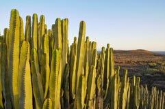 在干燥的多汁植物仙人掌 免版税库存照片