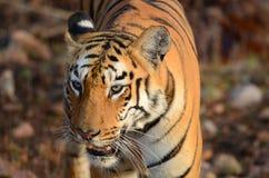 看一只野生的老虎的顶头射击  免版税图库摄影