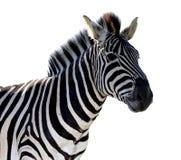 Изолированный портрет зебры - Стоковая Фотография RF