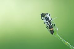 夫人吃蚜虫的臭虫幼虫 免版税库存图片