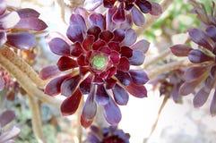 红色叶茂盛多汁植物 图库摄影
