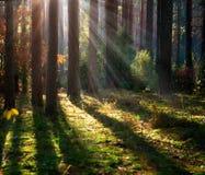 有薄雾的老森林 免版税库存照片