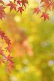 鸡爪枫树在秋天把五颜六色的背景留在 免版税库存照片