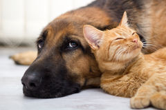 一起德国牧羊犬狗和猫 库存图片
