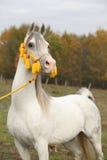 与精密三角背心的美丽的白色阿拉伯公马 免版税库存图片