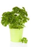 绿色罐的新鲜的荷兰芹植物 免版税图库摄影